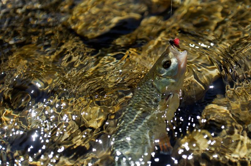 Fliegenfischen auf Barbe und Alet