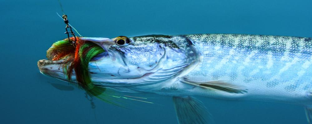 Pike fishing in Switzerland 007