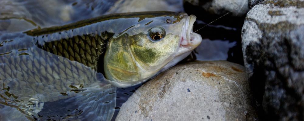 Flyfishing for Barbel & Chub in Switzerland